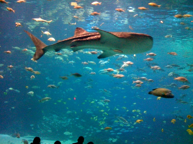 Whaleshark at Atlanta Aquarium